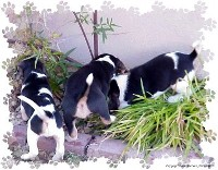 B' Beagles - Beagle Search
